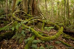 The tangled mossy roots reach out over the rainforest floor in search of water. Description from lukecaseyphotography.com. I searched for this on bing.com/images