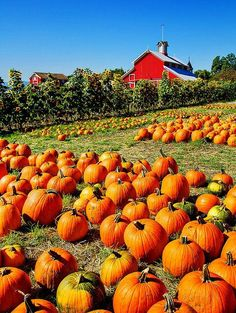 Red barn and orange pumpkins!