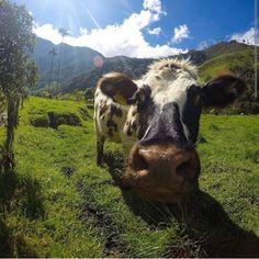 GoPro / cow
