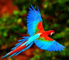 Macaw Tattoo - emotional and physical healing, bringing colour back into life, aid communication (Honduras 2005)