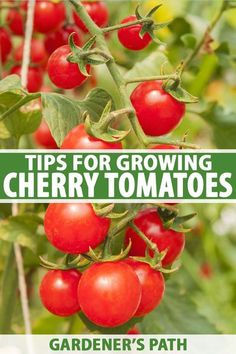Easy to grow from seed, cherry tomatoes are vigorous, prolific plants that deliver full sized flavor in bite sized fruit. Plant out in the garden or in containers on the deck and enjoy a tasty harvest all summer. Get the best tips for growing cherry tomatoes here. #cherrytomatoes #growyourown #gardenerspath