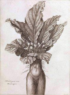 Abraham Bosse (1604-1676), La Mandragore — Planche pour : Denis Dodart, Mémoires pour servir à l'histoire des plantes