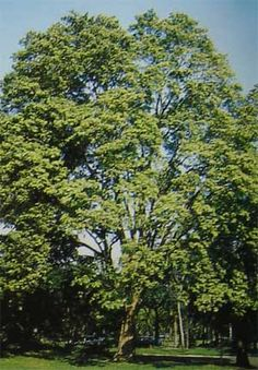 Pau Brasil - Caesalpinia echinata
