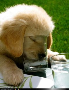 thirsty little golden retriever pup. Animals And Pets, Baby Animals, Funny Animals, Cute Animals, Wild Animals, Cute Puppies, Cute Dogs, Dogs And Puppies, Doggies