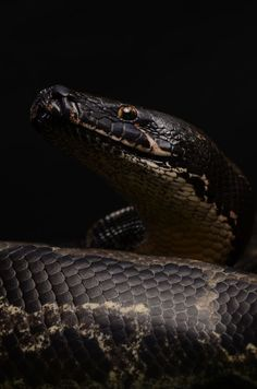 Black blood python by mehelya / Spiders And Snakes, Cool Snakes, Nature Animals, Animals And Pets, Cute Animals, Python Snake, Ball Python, Reptiles And Amphibians, Mammals