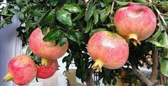 A single pomegranate seed can be your own pomegranate tree! – Bid … – World of Flowers Pomegranate Seeds, Homemade Beauty Recipes, Exotic Fruit, Tropical Houses, Trees To Plant, Entryway Decor, Flower Designs, House Plants