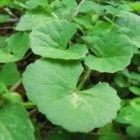 Gotu kola is een plant die onder andere in de ayurveda wordt gebruikt. Het is een plant die aan eten wordt toegevoegd. Bovendien wordt hij gemixt met...