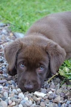Aussie made. Chocolate Lab Puppies, Chocolate Labs, Labrador Puppies, Labrador Retriever, Cute Puppies, Dogs And Puppies, Cutest Dogs, Labradors, Animal Rights