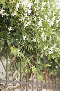 athens jasmine
