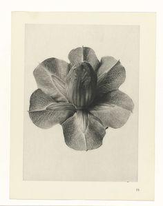 Karl Blossfeldt | Plant Studies, Karl Blossfeldt, Karl Nierendorf, Ernst Wasmuth, 1928 | facher Vergrößerung. Afkomstig uit losbladige uitgave.