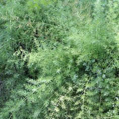 Asparagus fern -- This faux fern is bright green and tolerant of drought conditions. Backyard Shade, Shade Garden, Texas Plants, Wedding Plants, Asparagus Fern, Save Water, Bright Green, Yard Ideas, Colorful Flowers
