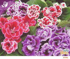 Exuberante e colorida: assim é a Gloxinia, uma flor que floresce praticamente o ano inteiro. Seu nome significa Amor à primeira vista, concordamos! Afinal quem é que não se apaixona logo de cara por essa espécie?