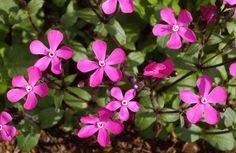 Clavel de Monte - Flores de Molinos - Silene pseudoatocion