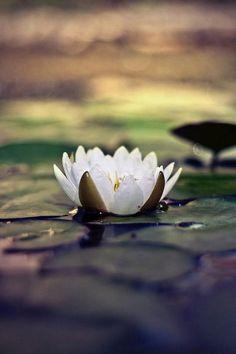 376 best lotus flowers images on pinterest planting flowers lotus lotus flower meaning rising and blooming above muddy waters mightylinksfo