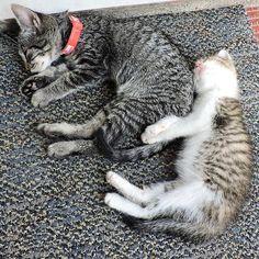 E quem tem coragem de acordar ou levantar nanando em uma semi-conchinha dessa? ❤️ #melhorsoninho #amordemais #conchinha --------------------------------------------------- www.catland.org.br www.catlandlojinha.com.br  contato@catland.org.br --------------------------------------------------- #catland #gocatland #catlandrescue #instacats #catlovers #catsofinstagram #catoftheday #ilovecats #adote #adotenãocompre
