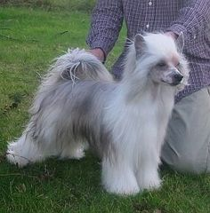 Be my Dogs - Chinese Crested Dogs Zucht in Satrup, Schleswig-Holstein | Rasseinfo