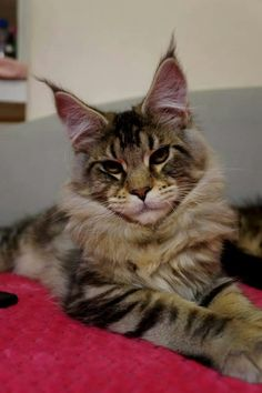 Such a cute tabby cat. Maine Coon Kittens, Cats And Kittens, Tabby Cats, Large Domestic Cat Breeds, How Big Is Baby, Big Baby, Norwegian Forest Cat, Cool Cats, Lions
