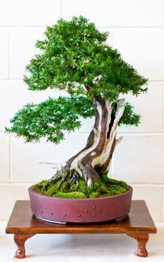 Yew Bonsai Tree (Taxus baccata) by Steve Greaves