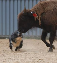 Chevy, a border collie keeping the buffalo in line!  Ferrel Performance Horses