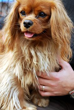 Things we all respect about the Playfull Cavalier King Charles Spaniel Puppies King Charles Puppy, Cavalier King Charles Dog, King Charles Spaniel, Spaniel Breeds, Spaniel Puppies, Dog Breeds, Cute Dogs And Puppies, I Love Dogs, Doggies