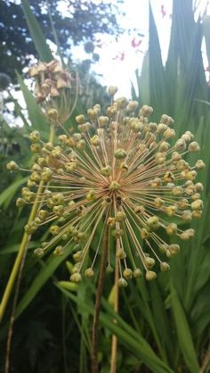#Allium #purple #Sensation #Gold #Seed #Head #Seedhead #Seeds #Northern #Ireland