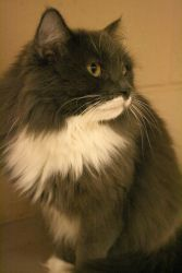 Ariel is an adoptable Domestic Long Hair Cat in Appleton, WI. DLH—Grey/White 4 years old Spayed Female FRONT DECLAWED Adoption fee: Gifted Fee includes rabies & distemper vaccinations, Feline Leukemia...