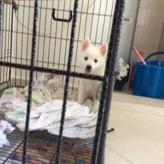 Meet Japanese Spitz Cassey, Dog of Quek: Cassey is currently still a puppy and is very playful. Japanese Spitz, Laundry Basket, Singapore, Snow, Puppies, Dogs, Cubs, Pet Dogs, Doggies