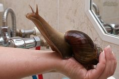 East African Giant Land Snail (Achatine fulica) loves bathtime