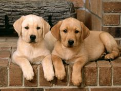 Yellow Lab puppies.