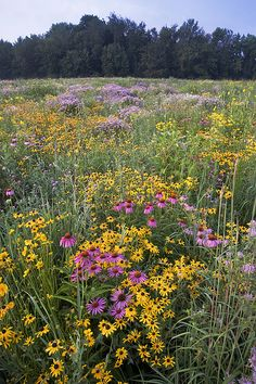 purple and yellow black eyed susans and wild grasses (although this is michigan)