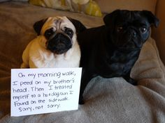 These 18 Guilty Pugs Have Hilarious Confessions to Make | Blaze Press