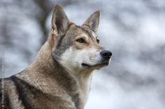 Royal Canin - Breed - Saarloos Wolfdog