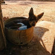 That surprised look when a random takes your picture while you have a bath. Australian Dog Breeds, Australian Cattle Dog, Australian Shepherds, Cute Puppies, Cute Dogs, Dogs And Puppies, West Highland Terrier, Scottish Terrier, Animals Of The World