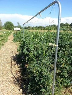 If you grow indeterminate tomatoes, these tomato trellis designs and ideas will make you head on out to the hardware store and get to building! Bean Trellis, Tomato Trellis, Grape Trellis, Tomato Cages, Tomato Garden, Fruit Garden, Tomato Plants, Squash Plant, Types Of Tomatoes