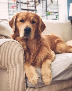 """Receive great pointers on """"golden retriever puppy"""". They are actually offered for you on our internet site. Cute Dogs And Puppies, Baby Dogs, Pet Dogs, Dog Cat, Pets, Doggies, Chien Golden Retriver, Perros Golden Retriever, Baby Golden Retrievers"""