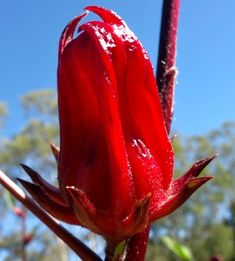 Rosella jam recipe - step by step