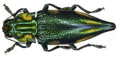 Family: Buprestidae Size: 29 mm Location: Indonesia, Irian Jaya, Salawati-Isl., Kaliam leg. A.Skale, 2004; det. M.Niehuis Photo: U.Schmidt, 2006