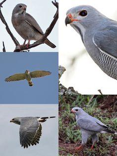 Lizard Buzzard (LC) Buzzard, Raptors, Vulnerability, Birds, Animals, Animales, Animaux, Bird, Animal