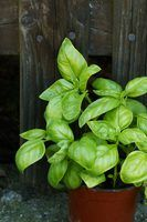 Keep basil's lush foliage from falling prey to pests.