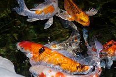 Koi, photo ops come from the strangest places...this one in the lobby of a hotel.