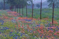 List of Texas Wildflowers | Wildflowers on a roadside of Road 2562 near crossing with Road 217 ...