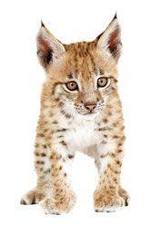 Dieren muursticker lynx welp