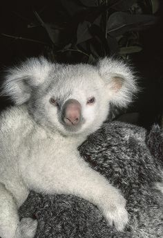 """In 1985 the Zoo's first albino koala was born. He was named Goolara, meaning """"moonlight"""" in an Australian Aboriginal language and, as you can see, he was one in a million. Cute Koala Bear, Baby Koala, Animals And Pets, Funny Animals, Rare Albino Animals, Australian Animals, Tier Fotos, Cute Little Animals, Cute Animal Pictures"""