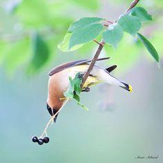 Cedar Waxwing reaching toward chokeberries. Amar