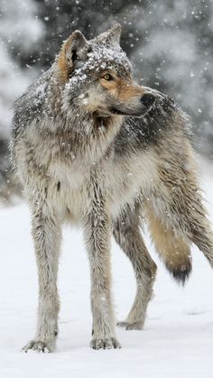 wolf, snow, winter, predator