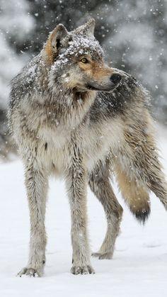 wolf, snow, winter, predator