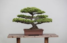 13 Types of Bonsai Trees (by Style and Shape Plus Pictures) Informal Upright - An informal upright bonsai tree is one that grows upright but the trunk may zig zag a little on its way up. Ficus Bonsai Tree, Bonsai Trees For Sale, Bonsai Tree Types, Bonsai Tree Care, Indoor Bonsai, Indoor Plants, Bonsai Plants, Cherry Bonsai, Asian Garden