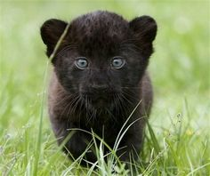 I ❤ baby big cats they are adorable. A young black panther prowled in the grass at Tierpark Zoo in Berlin Tuesday. Female black panther cubs named Larisa and Sipura were born on April (Maya Hitij/Associated Press) Panther Cub, Baby Panther, Cute Baby Animals, Animals And Pets, Funny Animals, Nature Animals, Animal Memes, Wild Animals, Beautiful Cats