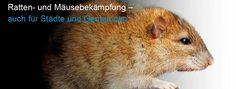 Ratten- und Mäusebekämpfung – auch für Städte und Gemeinden