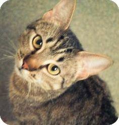 Newington, CT - Domestic Shorthair. Meet Tigra a Cat for Adoption.